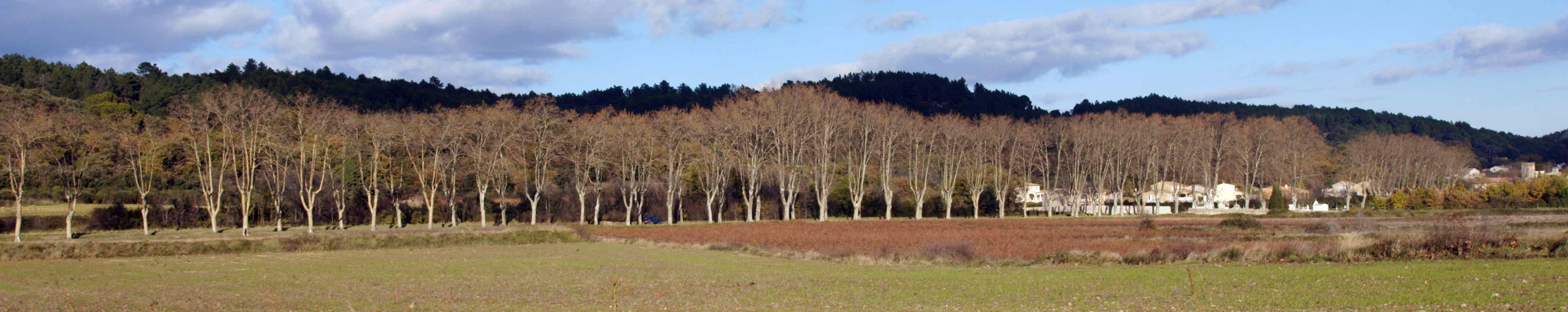 Line of Plane trees near St Hippolyte de Montaigu