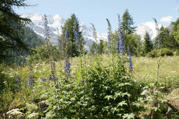 Delphiniums in an Alpine garden