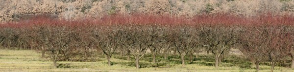 Pink treetops in the apricot orchard
