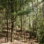 cryptomeria forest on the route to Taoshan waterfall