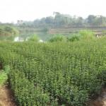 osmanthus plantation