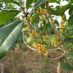 osmanthus tree