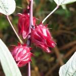 wild roselle (calyces)