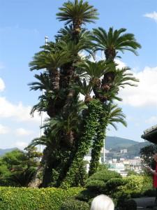 Sago palm (Cycad)