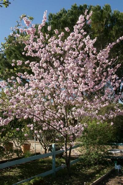 Japanese flowering cherry (sakura)