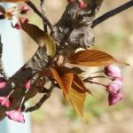 Japanese cherry (sakura)